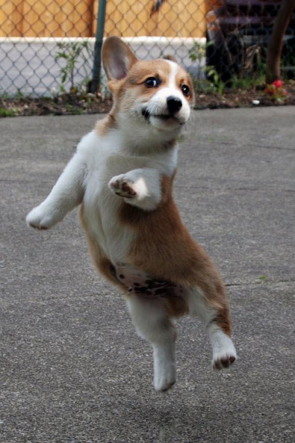 16 cuter cn 表演中的小狗