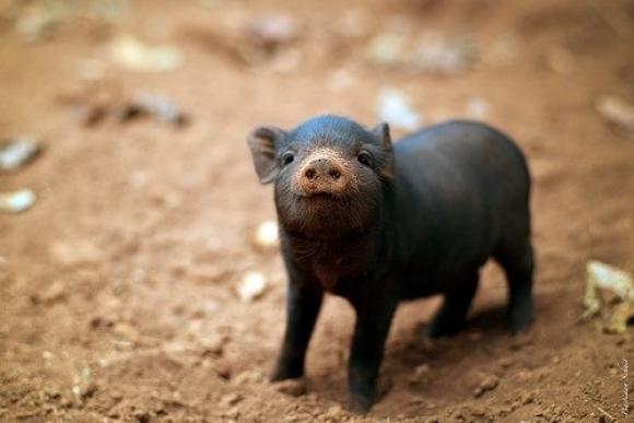 的小猪 酷特网,分享卡哇伊的动物萌图!动物萌