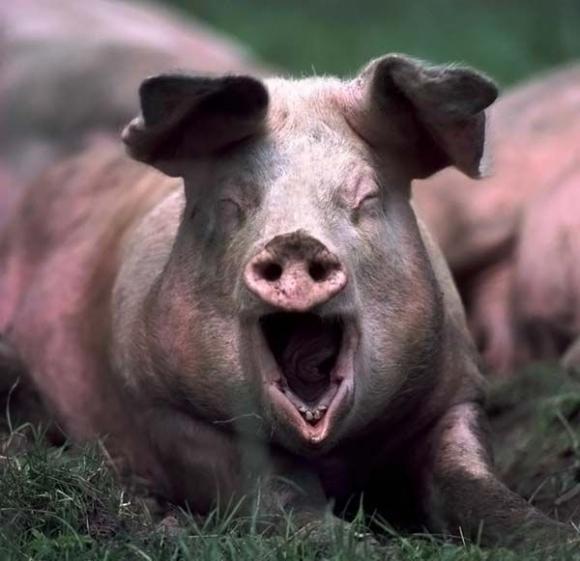 可爱小猪萌图壁纸